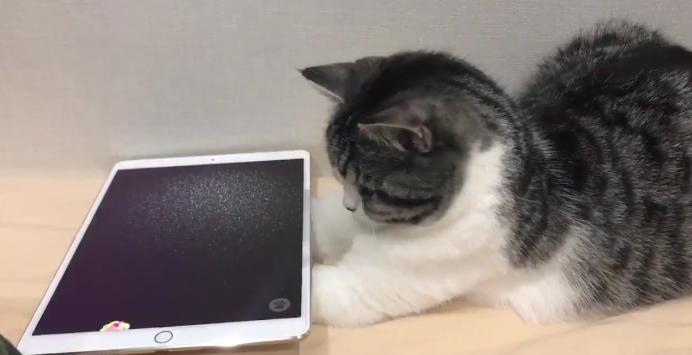 貓奴學嘢!喵星人玩 iPad 咁至最 High