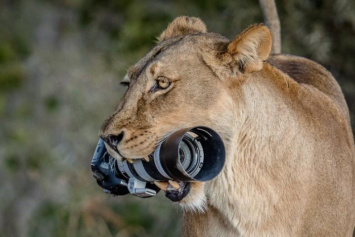 獅子媽媽偷走攝影師 DSLR 送畀囝囝做禮物